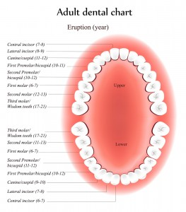 Adult Tooth Chart