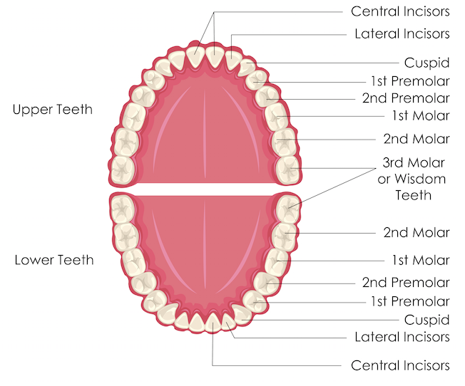 Diagram with labels identifying the names of the teeth